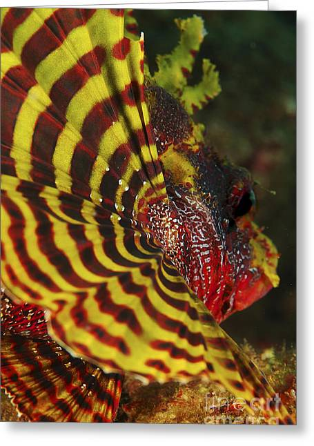 Lionfish Greeting Cards - Bright Yellow And Red Pectoral Fin Greeting Card by Mathieu Meur