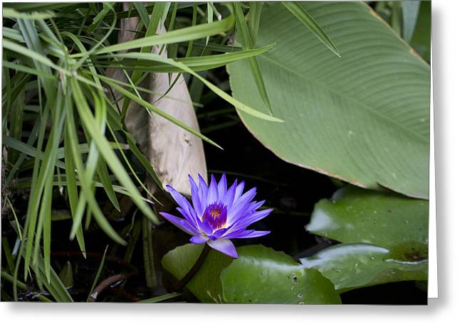 Water Lilly Greeting Cards - Brilliant Purple Greeting Card by Douglas Barnard