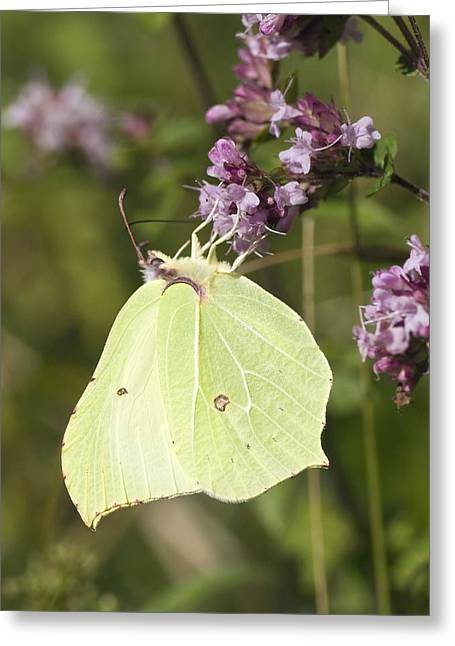 Eating Entomology Greeting Cards - Brimstone Butterfly Greeting Card by Adrian Bicker