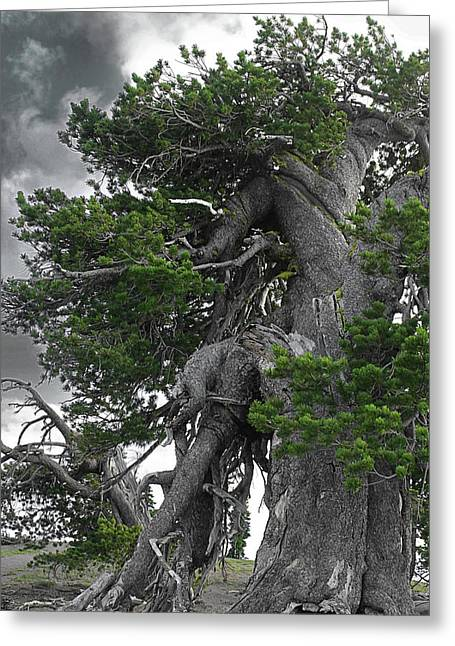 Conifers Greeting Cards - Bristlecone Pine tree on the rim of Crater Lake - Oregon Greeting Card by Christine Till