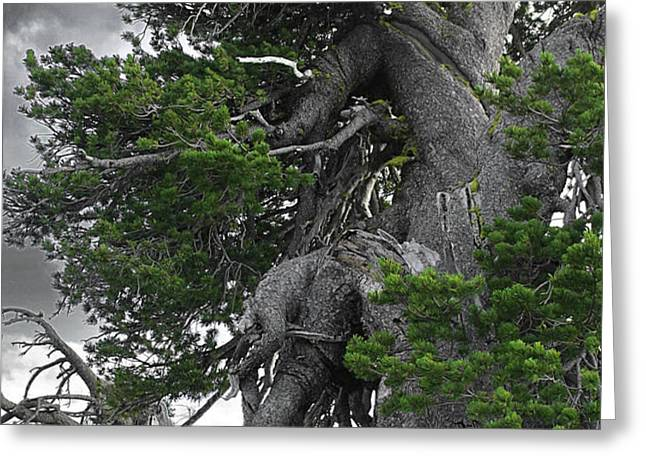 Bristlecone Pine tree on the rim of Crater Lake - Oregon Greeting Card by Christine Till