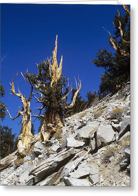 Oldest Living Tree Greeting Cards - Bristlecone Pine Trees Greeting Card by Jeremy Walker