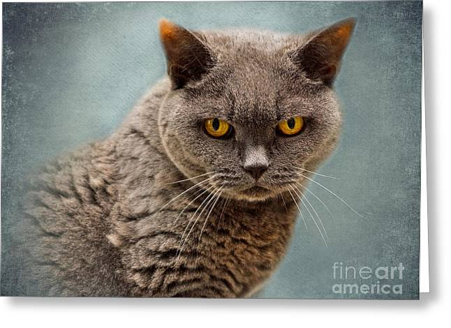 Soft Fur Greeting Cards - British Blue Shorthaired Cat Greeting Card by Louise Heusinkveld