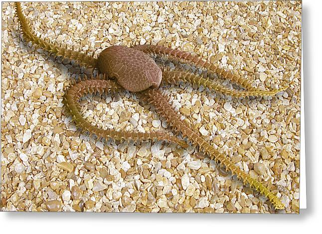 Zoology Greeting Cards - Brittle Star, Sem Greeting Card by Power And Syred
