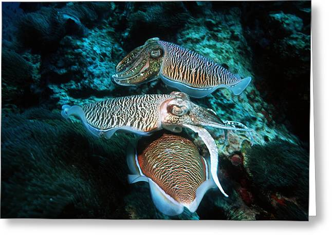 Protected Sea Life Greeting Cards - Broadclub Cuttlefish Reproduction Greeting Card by Georgette Douwma