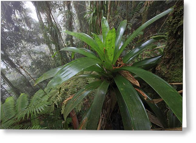 Bromeliad And Tree Ferns Colombia Greeting Card by Cyril Ruoso