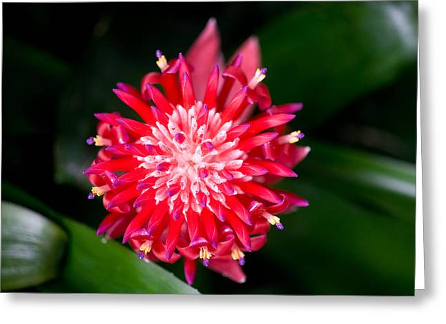 Bromeliad bloom Greeting Card by Rich Franco