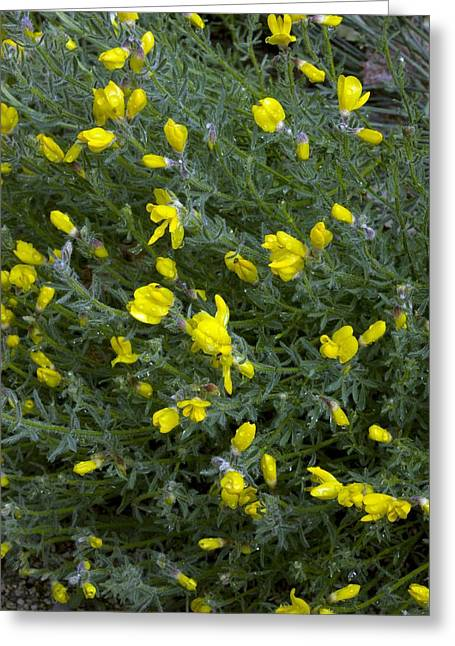 Dew Covered Flower Greeting Cards - Broom (cytisus Fontanesii) Greeting Card by Bob Gibbons