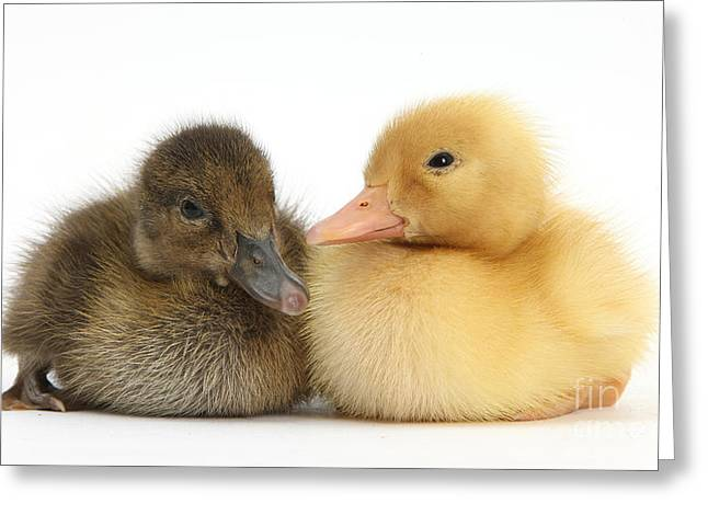 Ducklings Greeting Cards - Brown And Yellow Ducklings Greeting Card by Mark Taylor