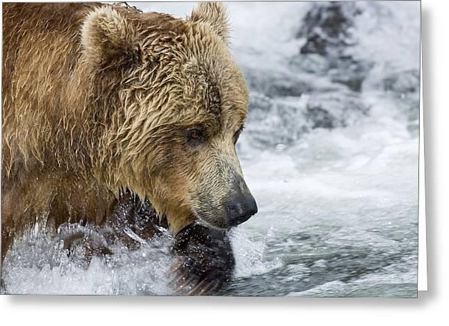 Russian Born Greeting Cards - Brown Bear Fishing for Salmon Greeting Card by Sergey Gorshkov