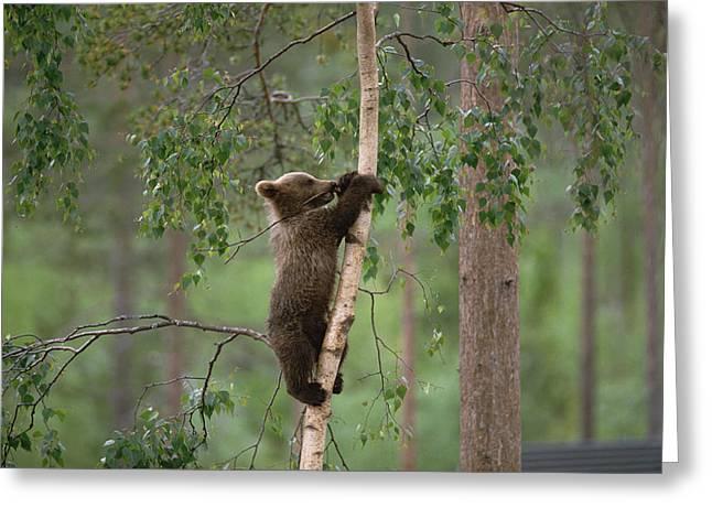 Ursidae Greeting Cards - Brown Bear Ursus Arctos Cub Climbing Greeting Card by Konrad Wothe