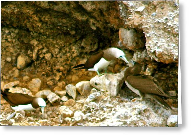 Brown Booby Greeting Cards - Brown Boobies Greeting Card by Ruth Edward Anderson