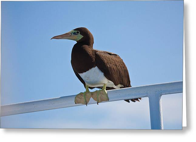 Brown Booby Greeting Cards - Brown Booby resting  Greeting Card by Craig Lapsley