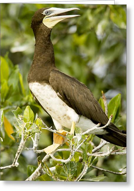 Mangrove Trees Greeting Cards - Brown Booby Sula Leucogaster Greeting Card by Tim Laman