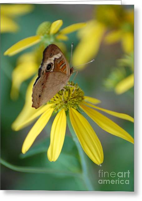 Arkansas Greeting Cards - Brown Butterfly Greeting Card by Patty Vicknair