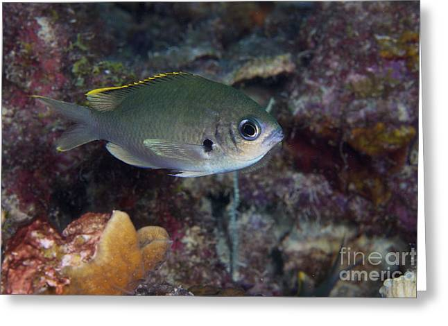 Undersea Photography Greeting Cards - Brown Chromis, Bonaire, Caribbean Greeting Card by Terry Moore