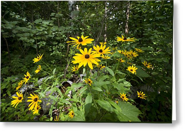 Brown-eyed Susan in the woods Greeting Card by Gary Eason