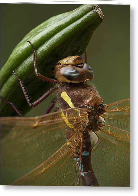Dragonflies Greeting Cards - Brown Hawker Dragonfly Greeting Card by Andy Astbury