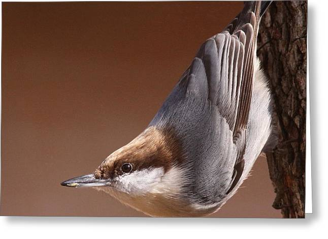 Travis Truelove Photography Greeting Cards - Brown-headed Nuthatch - Little Nutty Greeting Card by Travis Truelove