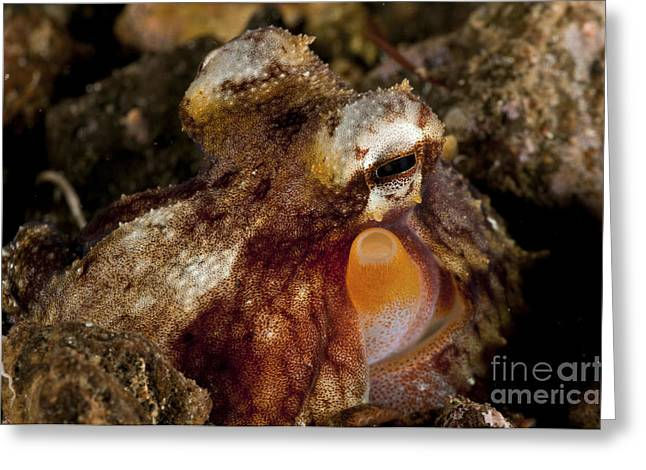 Cephalopod Greeting Cards - Brown, Orange And White Octopus Greeting Card by Mathieu Meur