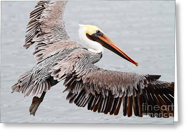 Brown Pelican . 7d8234 Greeting Card by Wingsdomain Art and Photography