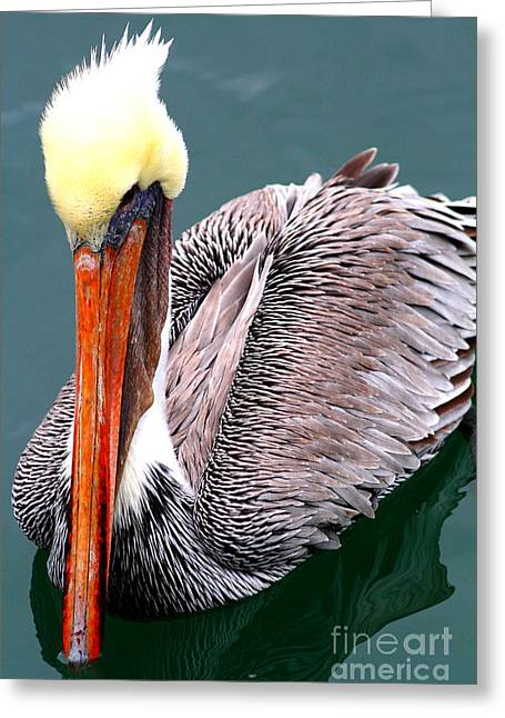 Brown Pelican . 7d8287 Greeting Card by Wingsdomain Art and Photography
