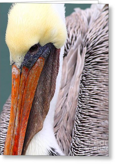 Brown Pelican . 7d8296 Greeting Card by Wingsdomain Art and Photography