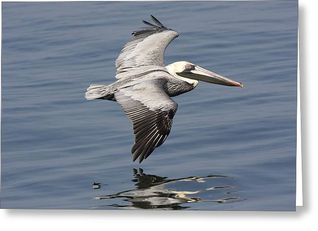 Flying Animal Greeting Cards - Brown Pelican In Flight, Low Over Water Greeting Card by Marc Moritsch