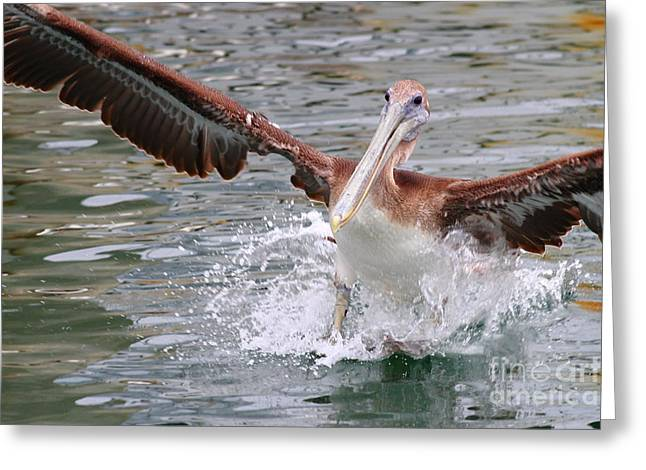 Brown Pelican Landing On Water . 7d8349 Greeting Card by Wingsdomain Art and Photography