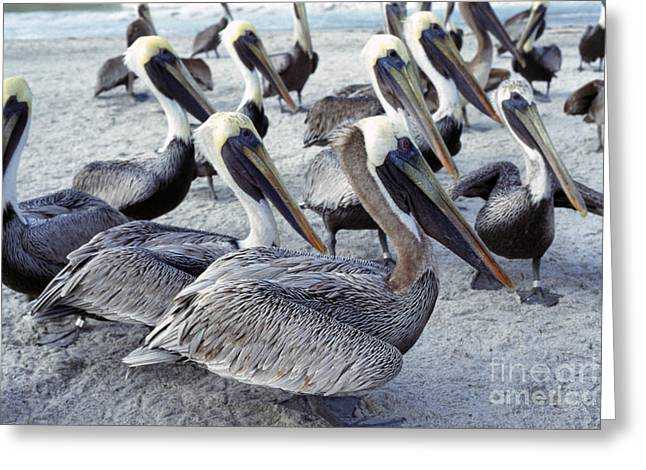 Seabirds Greeting Cards - Brown Pelicans on Beach Greeting Card by Thomas R Fletcher