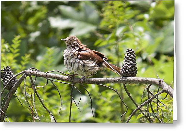 Brown Thrasher Greeting Card by Lena Auxier