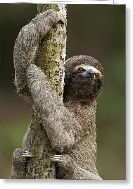 Three-toed Sloth Greeting Cards - Brown-throated Three-toed Sloth Greeting Card by Ingo Arndt