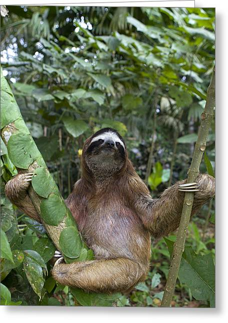 Three-toed Sloth Greeting Cards - Brown Throated Three Toed Sloth Male Greeting Card by Suzi Eszterhas