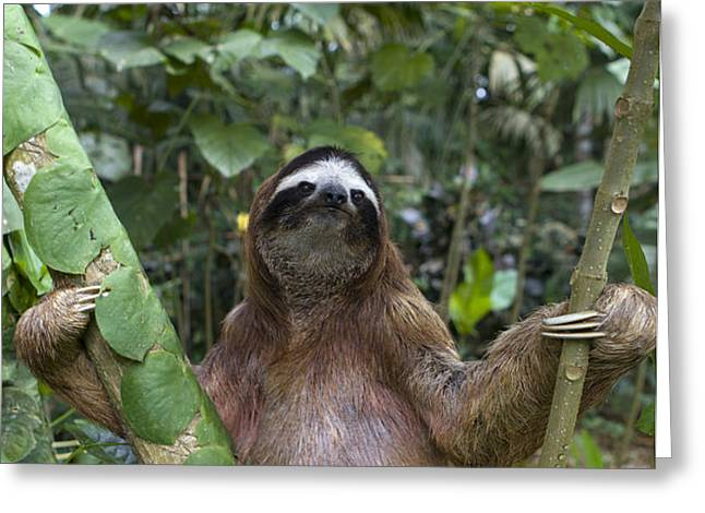 Brown Throated Three Toed Sloth Male Greeting Card by Suzi Eszterhas