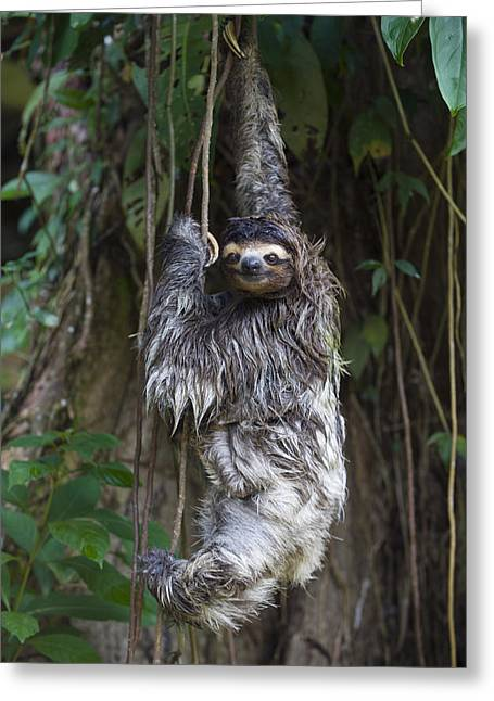 Three-toed Sloth Greeting Cards - Brown Throated Three Toed Sloth Mother Greeting Card by Suzi Eszterhas