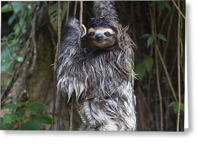 Brown Throated Three Toed Sloth Mother Greeting Card by Suzi Eszterhas