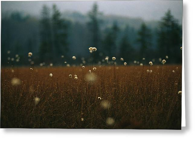Browned Autumn Field Of Cotton Grass Greeting Card by Raymond Gehman