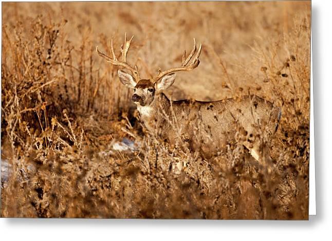 Mule Deer Buck Photograph Greeting Cards - Brush Buck Greeting Card by D Robert Franz