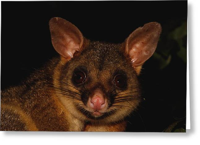 Possum Greeting Cards - Brush-tailed Possum Greeting Card by Bruce J Robinson