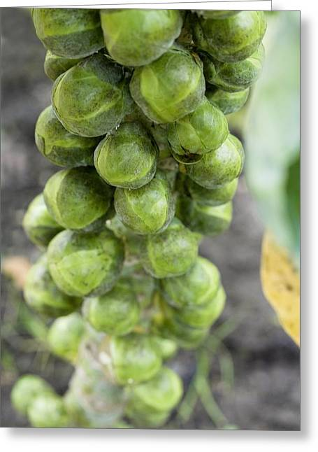 Brussel Greeting Cards - Brussel Sprouts Plant Greeting Card by Jon Stokes