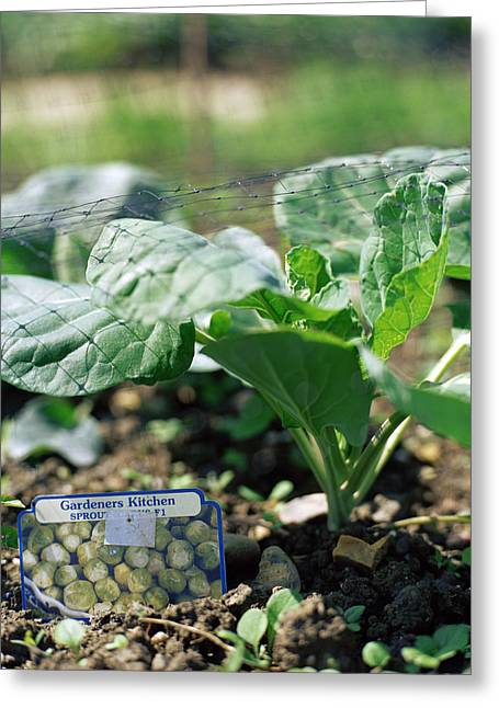 Netting Greeting Cards - Brussels Sprout Plant Greeting Card by David Munns
