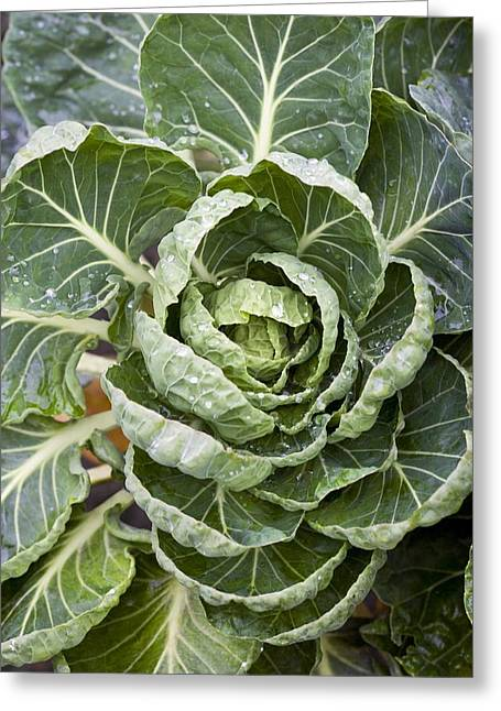 Brussel Greeting Cards - Brussels Sprout Plant Greeting Card by Jon Stokes