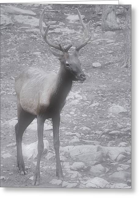 Wildlife Preserve Greeting Cards - Buck in Fog on Hurricane Ridge - Olympic National Forest - Olympic National Park WA Greeting Card by Christine Till