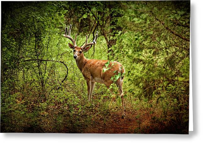 Tamyra Ayles Greeting Cards - Buck in Full Velvet Greeting Card by Tamyra Ayles