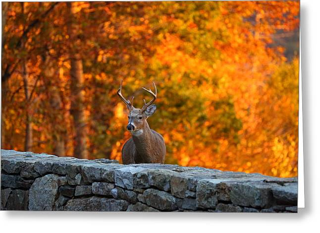 Wilderness Greeting Cards - Buck in the Fall 01 Greeting Card by Metro DC Photography