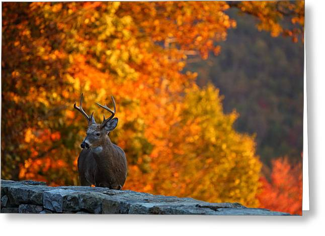 Buck in the Fall 02 Greeting Card by Metro DC Photography