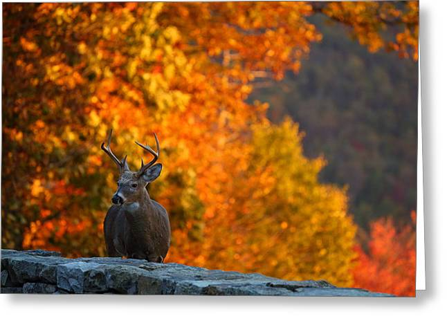 Hunt Greeting Cards - Buck in the Fall 03 Greeting Card by Metro DC Photography
