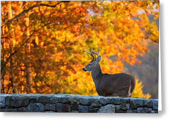 Hunter Greeting Cards - Buck in the Fall 05 Greeting Card by Metro DC Photography