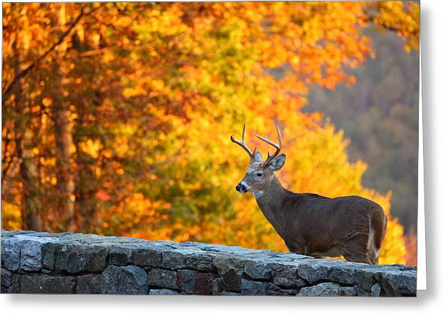 Wall Greeting Cards - Buck in the Fall 06 Greeting Card by Metro DC Photography