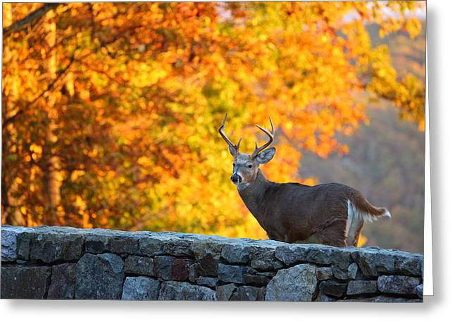Antlers Greeting Cards - Buck in the Fall 07 Greeting Card by Metro DC Photography